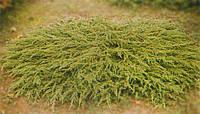 Можжевельник обыкновенный (juniperus communis) - Repanda (Репанда) С-3, 15-60 см