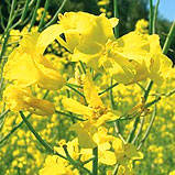 Секюр  ДК, рапс, 1 п.е. (1,5 млн. шт), Monsanto/Монсанто (США)