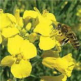 Эксел, рапс, 1 п.е. (1,5 млн. шт), Monsanto/Монсанто (США)