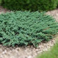 Можжевельник прибрежный (juniperus conferta) - Blue Pacific (Блю Пасифик)