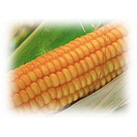 ЕС Пароли - кукуруза, 80 000 семян, EURALIS Франция
