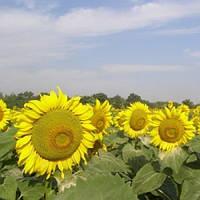 Савинка - подсолнечник, 150 000 семян, Syngenta Голландия