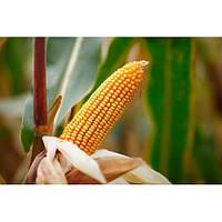 НС - 400 - кукуруза, 80 000 семян, Нертус Украина