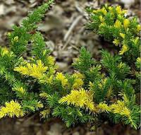Можжевельник прибрежный (juniperus conferta) - Golden Wings (Голден вингс)
