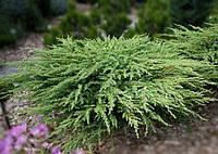 Можжевельник прибрежный (juniperus conferta) - Schlager (Шлагер)