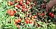 Семена томата Пьетраросса F1 \ Petra Rossa F1 25000 семян Clause, фото 3