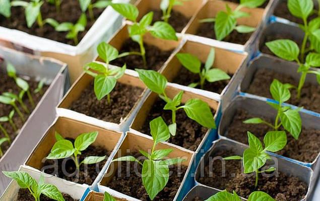 Як посадити насіння перцю