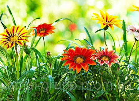 Гацания: посадка, выращивание и уход