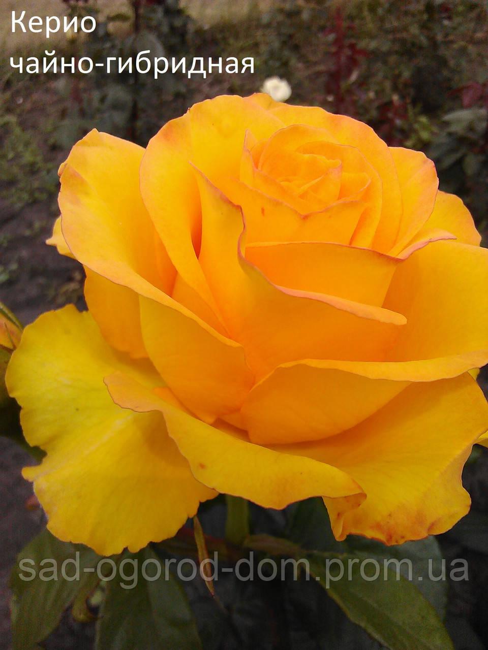 Троянди чайно-гібридна Керио (Kerio)