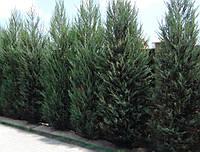 Можжевельник скальный (juniperus scopulorum) - Skyrocket  (Скайрокет)