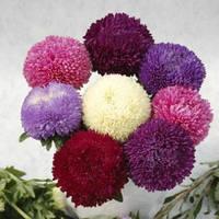 Астра Балун смесь 20 семян  SATIMEX