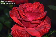 Роза чайно-гибридная Ред Интуишн (Red Intuition)