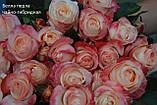 Роза чайно-гибридная Белла перла (Belle Perle), фото 2