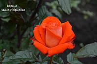 Роза чайно-гибридная Верано (Verano)