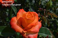 Роза чайно-гибридная Миракли (Miracle)