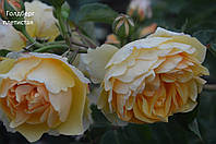 Роза плетистая Голдберг  (Goldberg)