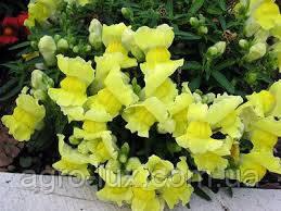 Львиный зев(антиринум) высокий Увертюра F1, желтый 100 шт  СИНГЕНТА / Syngenta