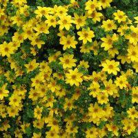 Семена Биденс Ауреа золотистый 5 г