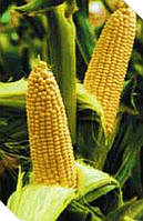 Вега F1 - кукуруза сахарная, 50 гр. семян, May Seed (Мей Сид), Турция - Фасовка