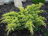 Можжевельник средний (juniperus pfitzeriana × media) - Gold kissen (Голд Киссен) С-3