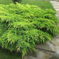 Можжевельник средний (juniperus pfitzeriana × media) - Pfitzeriana Aurea (Пфитцериана Аурея)