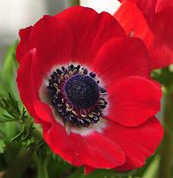 Анемона корончатая Hollandia (Голландия) 5 клубней/уп.