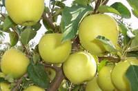 """Саженцы яблони """"Голден Реинджерс"""""""