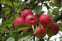 """Саженцы яблони """"Мелба"""""""