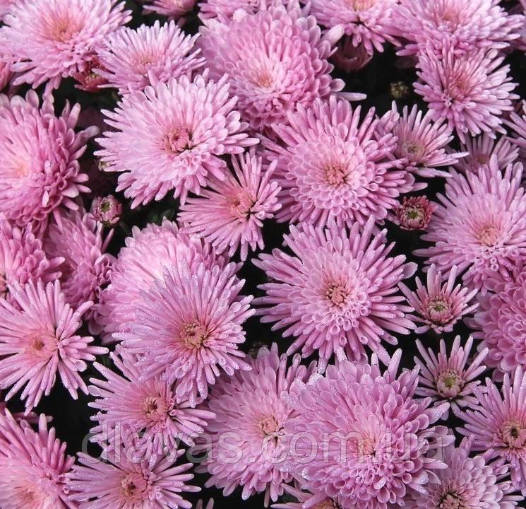Хризантема мультифлора Прекосита розовая