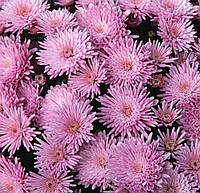 Хризантема мультифлора Прекосита розовая, фото 1