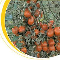 Таша F1 - томат детерминантный, 1000 семян, Nickerson Zwaan