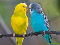 Корм для волнистых попугайчиков