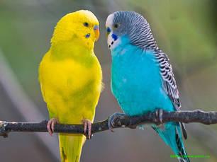 Корм для хвилястих папужок