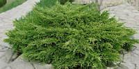 Можжевельник средний (juniperus pfitzeriana × media) - Pfitzeriana Compacta (Пфитцериана Компакта) С-3