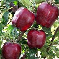 "Саженцы яблони ""Глостер"""