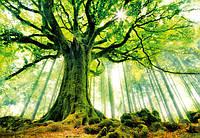 Фотообои флизелиновые на стену 366х254 см 8 листов: природа, Лес Броселианд -  Бук Понтус