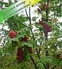 Саженцы рябины красная 1,8-2 м