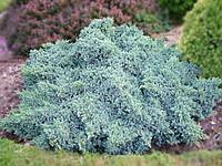 Можжевельник чешуйчатый (juniperus squamata) - Blue Star (Блю Стар)
