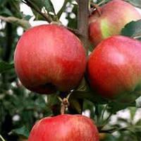 "Саженцы яблони ""Эрли Квин"""