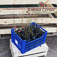 """Саженцы голубики сорт """"Дюк"""", полуупакованные 6 мес"""