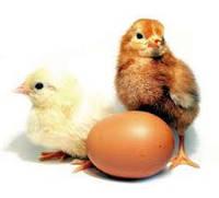 Цыпленок несушки Ломан Браун