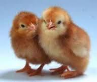 Цыпленок Петушок