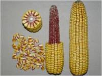 """Гибрид кукурузы PR38N86 от компании """"Pioneer"""""""