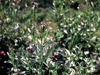 Кипрей мелкоцветковый , трава ( 100 грамм)
