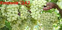 Виноград Кишмиш №342 (саженцы)