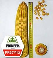 """Гибрид кукурузы PR37Y12 от компании """"Pioneer"""""""