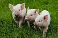 Комбикорм для свиней РОСТ (40-60 кг)