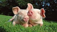"Премикс для откорма свиней ""ШенМикс Пиг F"" 3-2,5%(от 40 до 120 кг)"