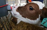 """Заменитель молока """"Телятко.UA"""" (с 15 дня, 70% молочной основы)"""