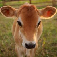 """Заменитель молока """"Телятко.PREMIUM"""" (с 5 дня, 80% молочной основы)"""